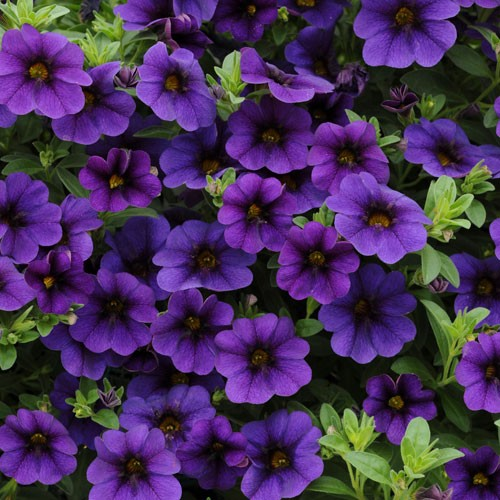 calibrachoa-cabaret-deep-blue -Growing Vegetables and Flowers