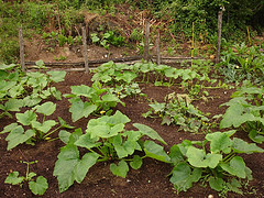 veggies - garden